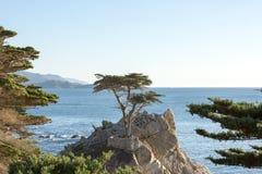 Lone Cypress Royalty Free Stock Photo