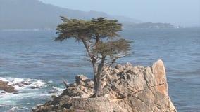 Lone Cypress stock video