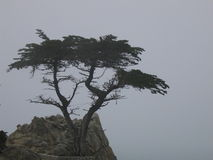 The Lone Cypress Tree. Perched over the Pacific Ocean for hundreds of years, Monterey Cypress Stock Image