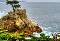 Lone Cypress Tree Royalty Free Stock Photo