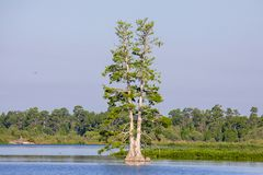 Lone Cypress Tree In A Lake. In the distance with nesting wading birds on it stock image