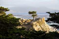 Lone Cypress Tree Royalty Free Stock Image