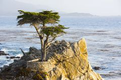 Lone Cypress Tree Royalty Free Stock Images