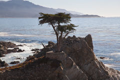 Lone cypress tree, Pebble Beach, CA Royalty Free Stock Photos