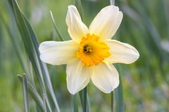 Lone daffodil. Lonely yellow narcissus on green background Royalty Free Stock Photography