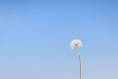 Lone Dandelion Stock Images