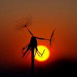 A lone dandelion against the setting sun Royalty Free Stock Photography