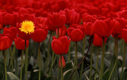 Lone dandelion amidst sea of red tulips Stock Image
