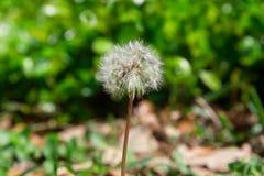 Lone dandelion Stock Photos