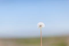 Lone Dandelion Stock Images