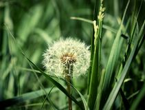 Lone dandelion in the field, Beautiful background image in good detail Royalty Free Stock Photography