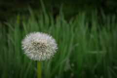 Lone dandelion Stock Image