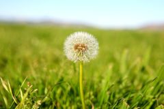Lone Dandelion in Open Field Stock Photography