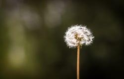 Lone dandelion. White dandelion with dark bokeh background Stock Images