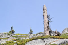 Lone dead pine tree Stock Images
