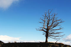 A lone dead tree against the blue sky Stock Images