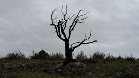 Lone Dead tree. Dead tree on a dreary day stock images