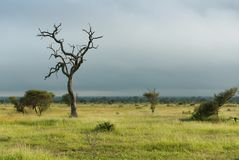 Lone dead tree in green african savannah stock images