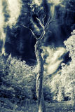 Lone Dead Tree - Infrared Stock Photo