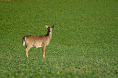 Lone Deer Royalty Free Stock Photo