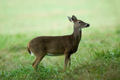 A lone deer Stock Photography