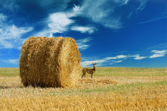 Lone deer in the field. Poland landscape royalty free stock image
