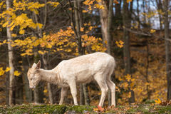 A lone deer in a forest Stock Photos
