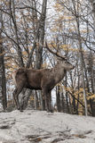 A lone deer in a forest Stock Photography