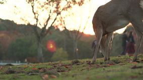 Lone Deer grazing in Nara during autumn while tourists walk in the background at sunset. Red maple leaves lie amongst the grass. stock video footage