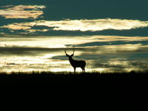 Lone Deer Royalty Free Stock Photos