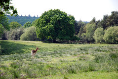 Lone Deer in New Forest. Typical example of the New Forest in Dorset and Hampshire, England, with a deer stag in a clearing royalty free stock photography