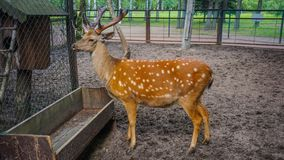 A lone deer in the park of St. Petersburg. Russia royalty free stock photo