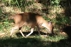Lone deer in shade of the woods Royalty Free Stock Photo