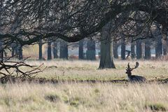 Lone Deer. Taken on a crisp winter morning - this is a picture of a lone deer in Bushy Park, London Royalty Free Stock Photo