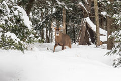 Lone deer in winter Royalty Free Stock Photos