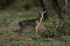 Lone Dikdik in Brush. Lone dikdik hiding in the brushes of Africa Royalty Free Stock Photography