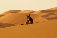 The lone dog in the ERG desert in Morocco. Erg Morocco The camel`s dog rest on the desert dunes awaiting dawn .Desert Erg Chebbi in Arabic: عرق الشبي is Royalty Free Stock Images