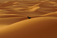 The lone dog in the ERG desert in Morocco royalty free stock photography