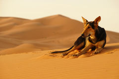 The lone dog in the ERG desert in Morocco. Erg Morocco The camel`s dog rest on the desert dunes awaiting dawn .Desert Erg Chebbi in Arabic: عرق الشبي is Royalty Free Stock Photography