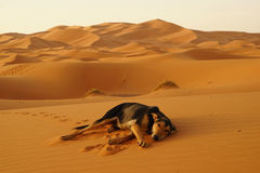 The lone dog in the ERG desert in Morocco. Erg Morocco The camel`s dog rest on the desert dunes awaiting dawn .Desert Erg Chebbi in Arabic: عرق الشبي is Stock Photos