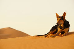 The lone dog in the ERG desert in Morocco. Erg Morocco The camel`s dog rest on the desert dunes awaiting dawn .Desert Erg Chebbi in Arabic: عرق الشبي is Stock Image