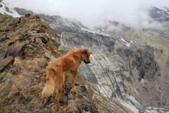 Lone dog on the ridge. Foxy dog staring down the ridge, Annapurna Base Camp, Nepal Royalty Free Stock Image