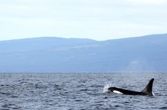 Lone Dorsal fin with Pod of Resident Orcas of the coast near Sechelt, BC. Resident pod of Orca`s aka Killer Whales, of the coast of British Columbia Canada, near royalty free stock photos