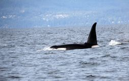 Lone Dorsal fin with Pod of Resident Orcas of the coast near Sechelt, BC stock images
