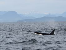 Lone Dorsal fin with Pod of Resident Orcas of the coast near Sechelt, BC stock photo