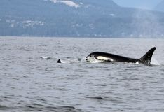 Lone Dorsal fin with Pod of Resident Orcas of the coast near Sechelt, BC royalty free stock image
