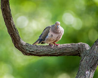 Lone Dove. Mourning Dove perched on a tree limb Royalty Free Stock Photography
