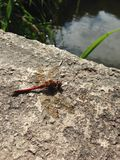 Lone dragonfly. Dragonfly resting on the river bank Stock Photo