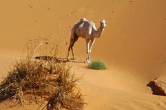 Lone dromedary in the desert Royalty Free Stock Images
