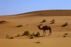 Lone dromedary in the Sahara Desert, Morocco Stock Photos